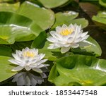 Flowers On Lily Pads In The Pond