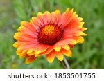 Beautiful Of Gaillardia...