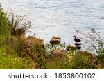 Riverbank With Wild Duck In Th...
