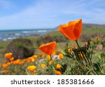California Gold Poppy Flowers ...