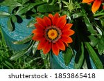 Bright Red Orange Gazania...