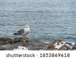One Seagull With White And Gre...