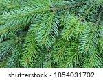 background with nordmann fir... | Shutterstock . vector #1854031702