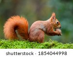 A Red Squirrel Eating A Nut On...
