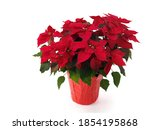 Poinsettia   red christmas...