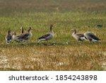 Greylag Goose Flock In Open...