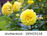 Yellow Flower Dahlia With Gree...