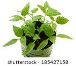 young pepper seedlings growing... | Shutterstock . vector #185427158