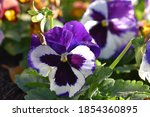 Pansy  A Species Of Violets ...