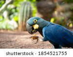 Lear's Macaw Or Blue Macaw...