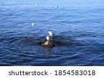 A Flock Of Gulls  Black Sea