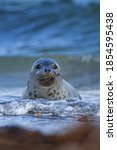 Grey Seal Colony On The...