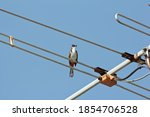 A Red Whiskered Bulbul Perched...