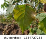 Beautiful Green Leaves. Poplar...