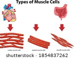 information poster of muscle...   Shutterstock .eps vector #1854837262