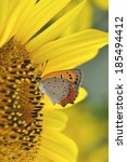 Small photo of American copper butterfly on sunflower