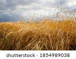 The Grain Field Is Ripe For...