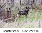 Pair Of African Wild Dog S...