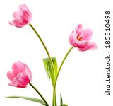 beautiful tulips isolated on... | Shutterstock . vector #185510498