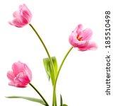 beautiful tulips isolated on...   Shutterstock . vector #185510498