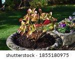 Lace Cap Hydrangea In A Cast...
