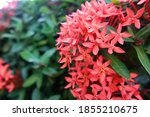Red Ixora Flowers On A Green...