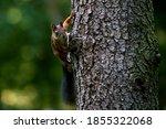 Gray Squirrel Climbing A Tree