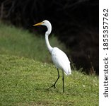 Great White Egret With Long...