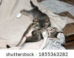 Small photo of Kittens play and bite, kids grow up and comprehend their possibilities in life.