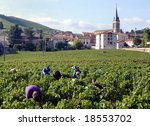 Harvesting the wine grapes in Fleurie, France - stock photo