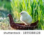 Spring. Small Yellow Chick In...