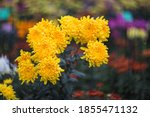 Yellow Chrysanthemums On A...