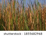 Typha Is A Genus Of About 30...