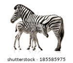Stock photo female zebra and her baby isolated on white background with reflections 185585975