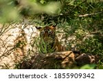 Wild Male Tiger With His Tongu...