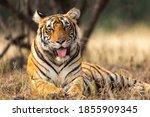 Wild Tigress Portrait With Her...