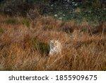 Wild Tiger Head On At Grasslan...