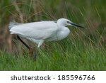 little egret  egretta garzetta  ... | Shutterstock . vector #185596766