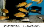 Electric Yellow Afican Cichlid  ...