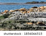 Sea Lions And Cormorants The...