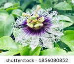 Blooming Passion Flower In The...