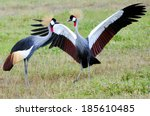 Two Black Crowned Canes...