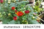 Red Dahlia In Garden. A Picture ...
