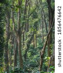 Thick Growth Of Trees In The...