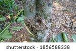 Nest With Three Eggs Of Tico...