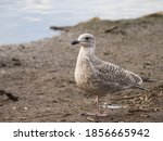 Young Gray Gull Stands At The...
