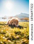 Little Cute Dog  Puppy Golden...