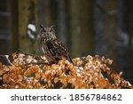 Owl In Winter Forest. Eurasian...