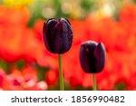 Deep Purple Flowers Of Tulipa ...
