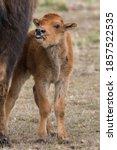 Very Young Bison Calf Peeking...